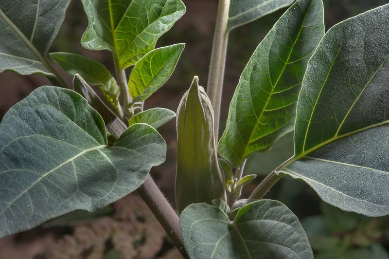 Bud of moonflower (Datura innoxia) on waste ground on Al Shatt Street in Onaiza area. Doha, Qatar, January 26, 2016