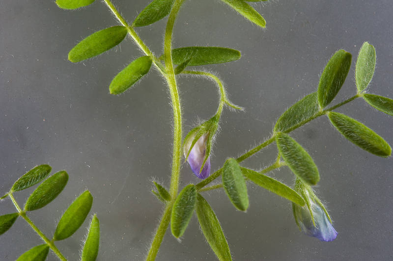 Hard vetch (Vicia monantha) with flowers taken from Ibn Nusaih Street in Onaiza area. Doha, Qatar, January 26, 2016