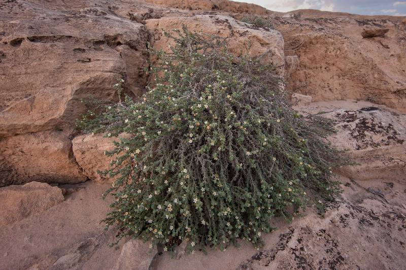 Blooming plant of stoneseed (Echiochilon jugatum) on rocky ridge of Jebel Fuwairit. Northern Qatar, January 29, 2016