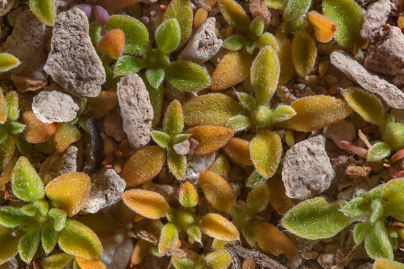 Seedlings of purslane-leaved aizoon (Aizoon canariense) on stony ground in area of Jabal Al Jassasiya, on north-eastern coast. Qatar, January 29, 2016