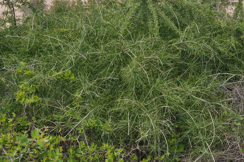 Shrubby Horsetail (Ephedra foliata, local name alanda) growing on bushes of Ziziphus on roadside of a road to Zubara in area of Al Magdah farms. Northern Qatar, January 29, 2016
