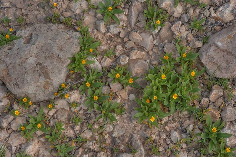 Field Marigold (Calendula arvensis, Calendula micrantha, local name hanwa) on roadside of a road to Zubara in area of Al Magdah farms. Northern Qatar, January 29, 2016