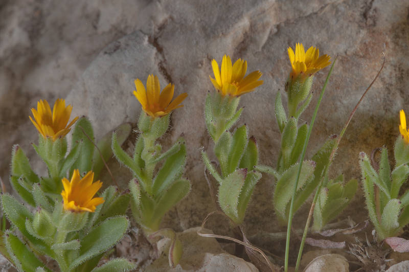 Flowers of field Marigold (Calendula arvensis, Calendula micrantha, local name hanwa) on roadside of a road to Zubara in area of Al Magdah farms. Northern Qatar, January 29, 2016