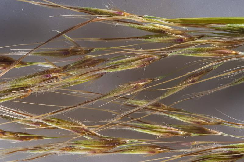 Spikelets of grass Chrysopogon plumulosus taken from roadside of a road from Dukhan to Al Jumayliyah. Western Qatar, January 30, 2016