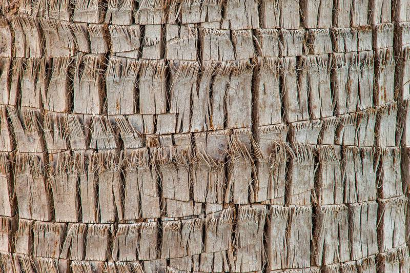 Bark texture of desert fan palm (Washingtonia filifera or may be robusta) in a park at Al Intisar Street near a corner with Onaiza. Doha, Qatar, February 2, 2016