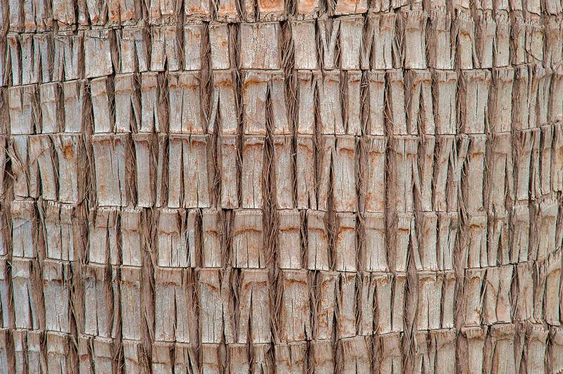 Bark structure of desert fan palm (Washingtonia filifera or may be robusta) in a park at Al Intisar Street near a corner with Onaiza. Doha, Qatar, February 2, 2016