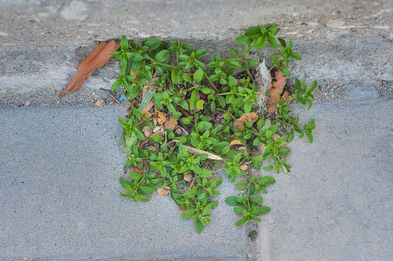 Plant of fourleaf allseed (Polycarpon tetraphyllum) growing from a crevice on United Nations Street in Onaiza area. Doha, Qatar, February 2, 2016