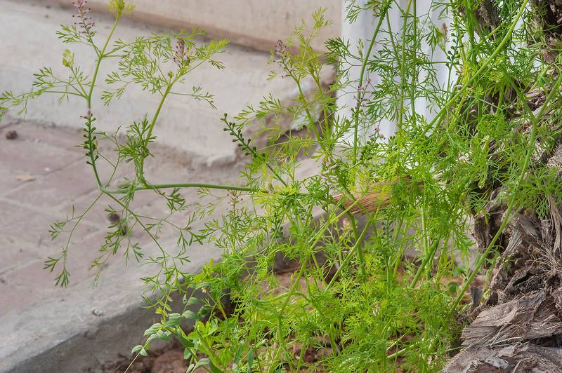 Fineleaf fumitory (Fumaria parviflora or may be F. vaillantii) growing under a palm tree on Al Istiqlal Street in Onaiza area. Doha, Qatar, February 3, 2016