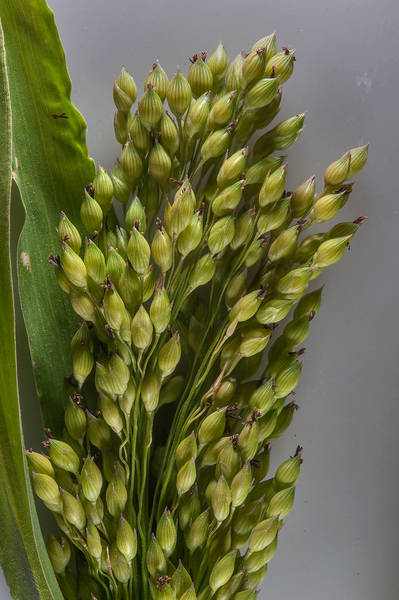 Grains of sudangrass (Sorghum sudanense, Sorghum x drummondii) taken from area at the corner of Al Ghadeeriyat and Al Ghafat streets in Umm Lekhba area. Doha, Qatar, February 3, 2016