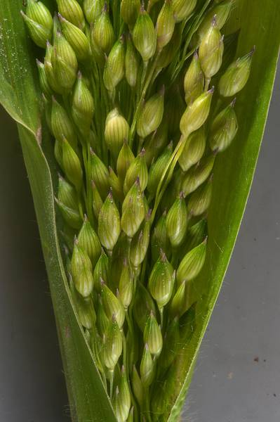 Close up of sudangrass (Sorghum sudanense, Sorghum x drummondii) taken from area at the corner of Al Ghadeeriyat and Al Ghafat streets in Umm Lekhba area. Doha, Qatar, February 3, 2016