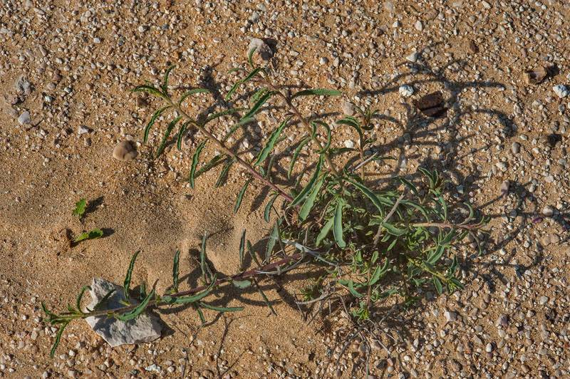 Haplophyllum tuberculatum (local name Meseika) in a desert on roadside of a road to Sawda Natheel. Southern Qatar, February 5, 2016