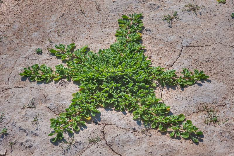 Star shaped plant of purslane-leaved aizoon (Aizoon canariense) in a large roadside depression near Route 77 to Ras Laffan. Qatar, February 6, 2016