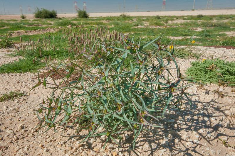 Spurge Euphorbia retusa with flowers on gravel soil in a large roadside depression near Route 77 to Ras Laffan. Qatar, February 6, 2016