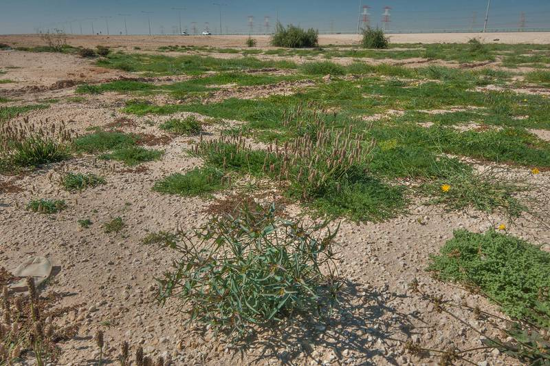 Wide angle view of a rare spurge Euphorbia retusa in a large roadside depression near Route 77 to Ras Laffan. Qatar, February 6, 2016