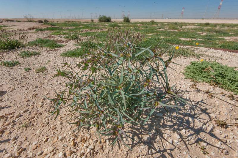 Wide angle view of spurge Euphorbia retusa on gravel soil in a large roadside depression near Route 77 to Ras Laffan. Qatar, February 6, 2016