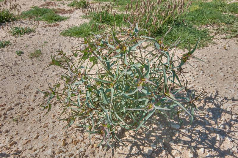 Wide angle view of a rare plant Euphorbia retusa on gravel soil in a large roadside depression near Route 77 to Ras Laffan. Qatar, February 6, 2016