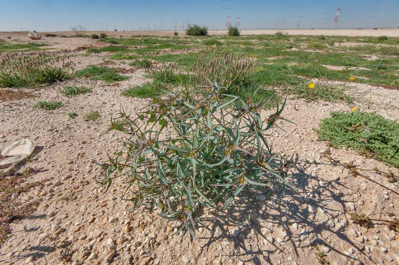 Wide angle view of a rare plant Euphorbia retusa in a large roadside depression near Route 77 to Ras Laffan. Qatar, February 6, 2016