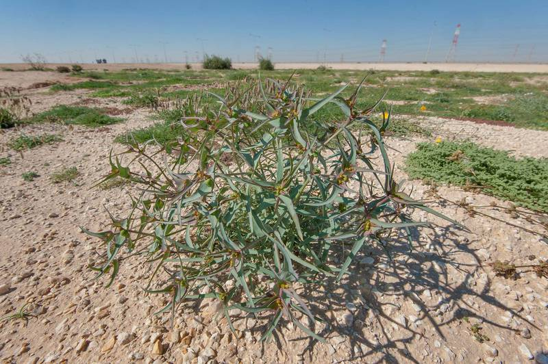 Wide angle view of a blooming spurge Euphorbia retusa in a large roadside depression near Route 77 to Ras Laffan. Qatar, February 6, 2016