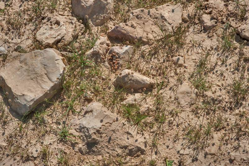 Desert indianwheat (Plantago ovata) on rocky soil in a silty depression on roadside of a road to Zubara, area of Al Magdah farms. Northern Qatar, February 6, 2016