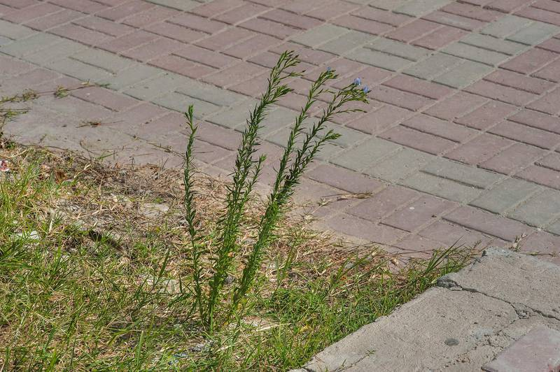 Flax (Linum usitatissimum) growing on waste spot on Al Istiqlal Street in Onaiza area. Doha, Qatar, February 11, 2016
