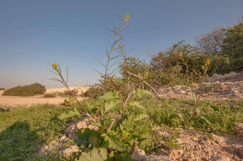 Mediterranean rocket (smooth mustard, Sisymbrium erysimoides) near a road to Zubara in area of Al Magdah farms. Northern Qatar, February 13, 2016