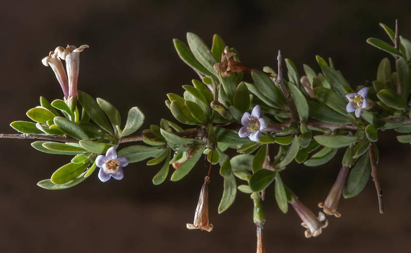 Branch of desert thorn Lycium shawii with flowers near a road to Zubara in area of Al Magdah farms. Northern Qatar, February 13, 2016