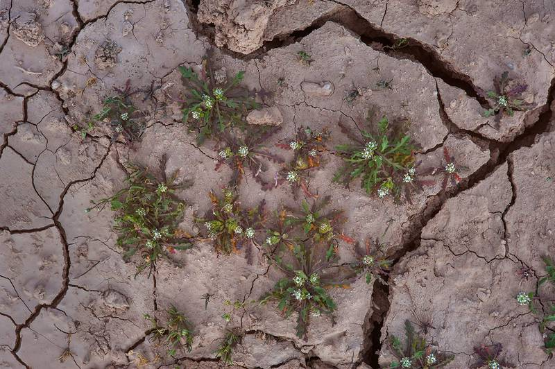 Young plants of pepper-grass (Lepidium aucheri) growing on caked mud near a road to Zubara in area of Al Magdah farms. Northern Qatar, February 13, 2016