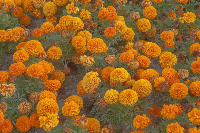 Orange flowers of Mexican marigold (Tagetes erecta) planted in a park at Al Rafiei Street in Onaiza area. Doha, Qatar, February 16, 2016