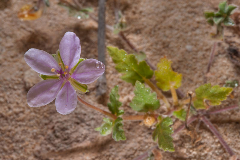 Small plant of Cutleaf Heron's bill (Erodium laciniatum, Geranium laciniatum, local names qarnawah, ibrat al rahib) on a rocky ridge of Jebel Fuwairit. Northern Qatar, February 19, 2016