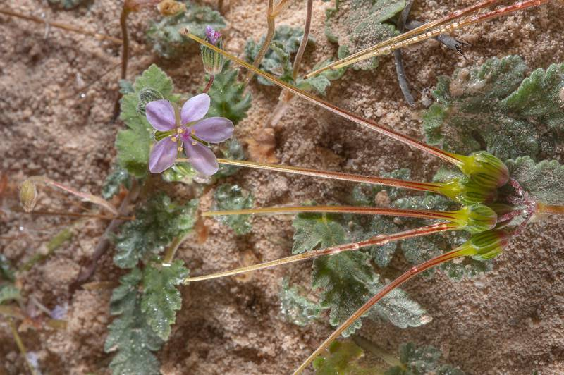 Seeds of Cutleaf Heron's bill (Erodium laciniatum, Geranium laciniatum, local names qarnawah, ibrat al rahib) on a rocky ridge of Jebel Fuwairit. Northern Qatar, February 19, 2016