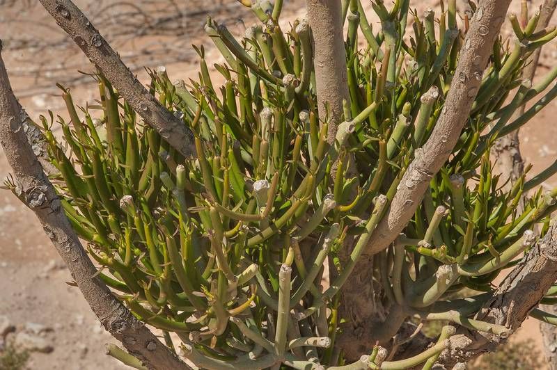 Shoots of Pencil tree (Euphorbia tirucalli) in abandoned gardens in area of Ras Laffan farms. North-eastern Qatar, February 19, 2016