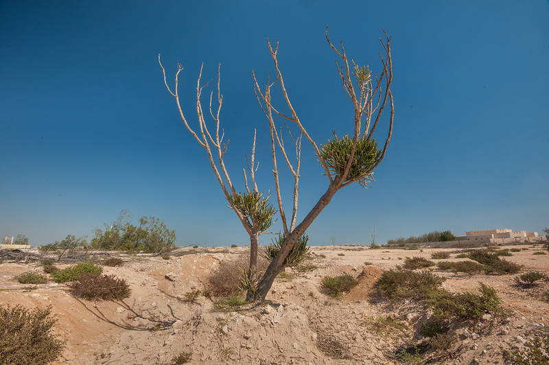 Pencil tree (Euphorbia tirucalli) in abandoned gardens in area of Ras Laffan farms. North-eastern Qatar, February 19, 2016