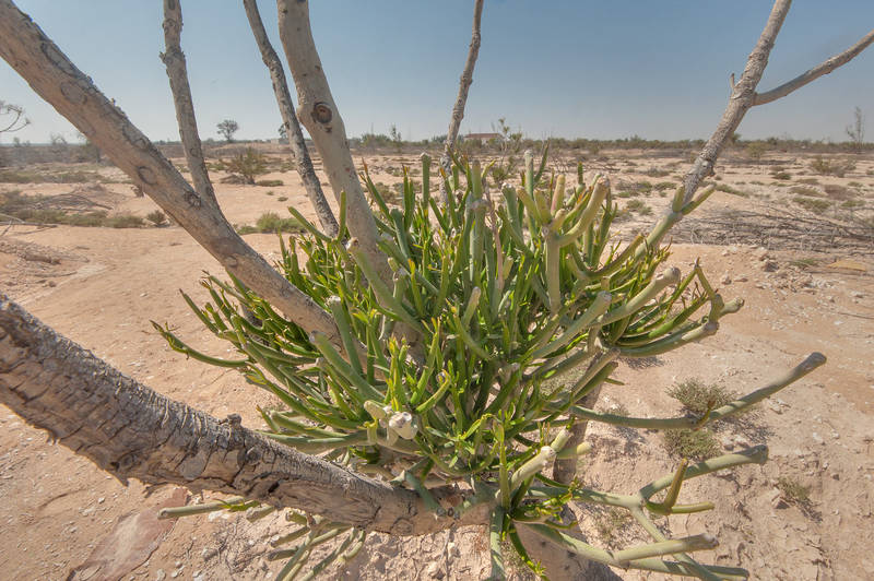 Base of Pencil tree (Euphorbia tirucalli) in abandoned gardens in area of Ras Laffan farms. North-eastern Qatar, February 19, 2016