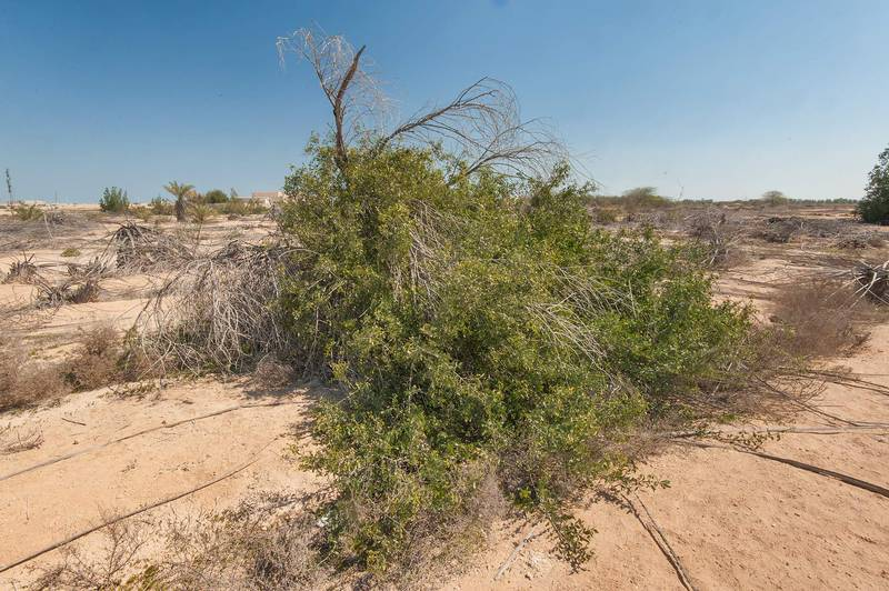 Toothbrush tree (Salvadora persica) in abandoned gardens in area of Ras Laffan farms. North-eastern Qatar, February 19, 2016