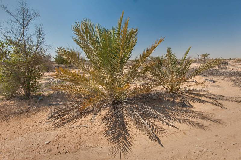 Young date palms (Phoenix dactylifera, local name nakeel) in abandoned gardens in area of Ras Laffan farms. North-eastern Qatar, February 19, 2016