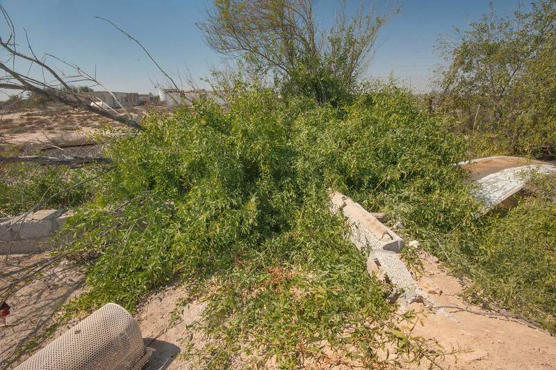 Creeping toothbrush tree (Salvadora persica) in abandoned gardens in area of Ras Laffan farms. North-eastern Qatar, February 19, 2016
