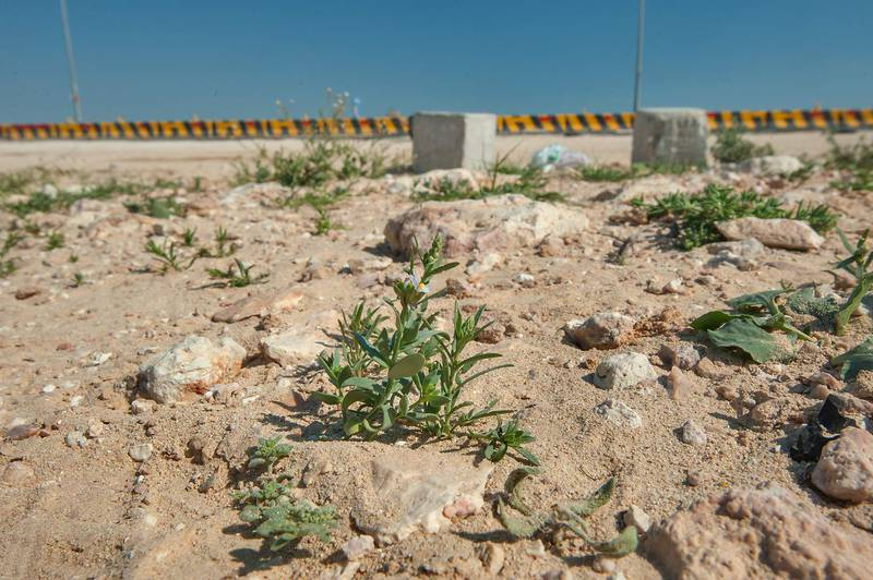 Wide angle view of plants of Linaria albifrons on roadside south from Ras Laffan. North-eastern Qatar, February 19, 2016