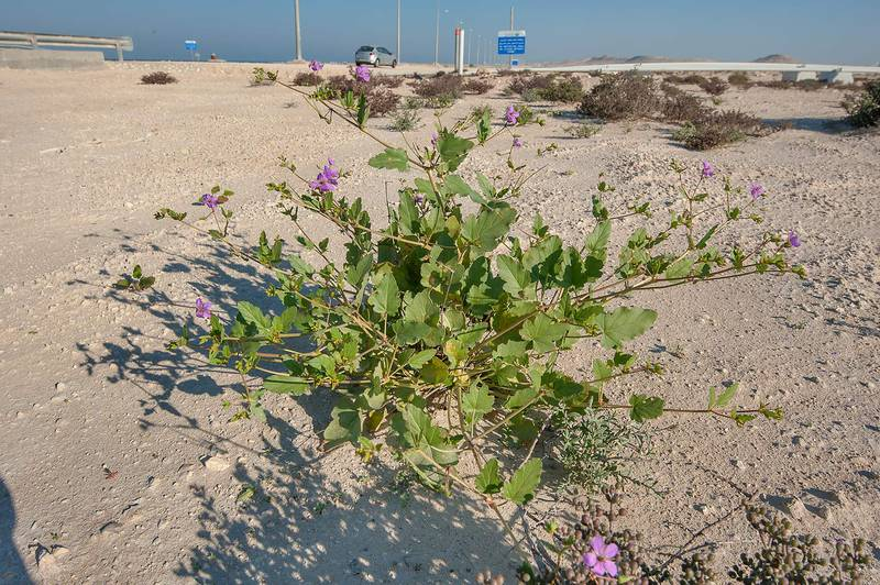 Blooming plant of storkbill (Erodium glaucophyllum) on roadside in Dukhan. Qatar, February 20, 2016