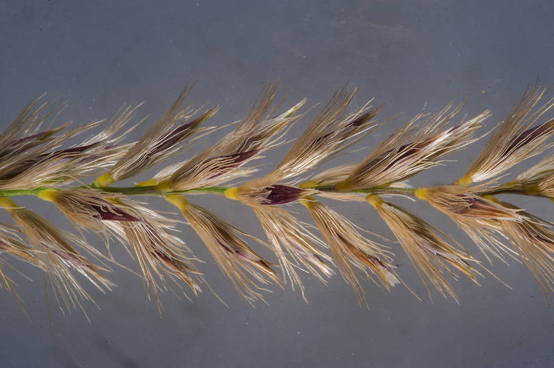 Spikelet of grass Pennisetum divisum in a runnel north from Dukhan. Qatar, February 20, 2016