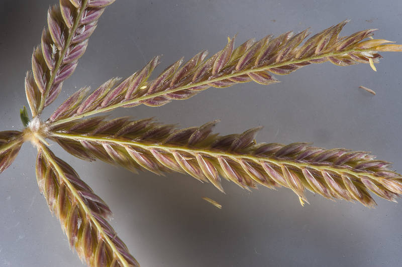 Close up of spikelets of wire grass Ochthochloa compressa (local name Hamrah) on roadside of Khawzan Road. Qatar, February 20, 2016