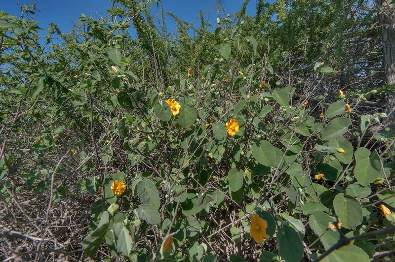 Blooming Texas Indian-mallow (Abutilon fruticosum, Abutilon denticulatum, local name gargadan) on roadside of a road to Zubara in area of Al Magdah farms. North-western Qatar, February 20, 2016