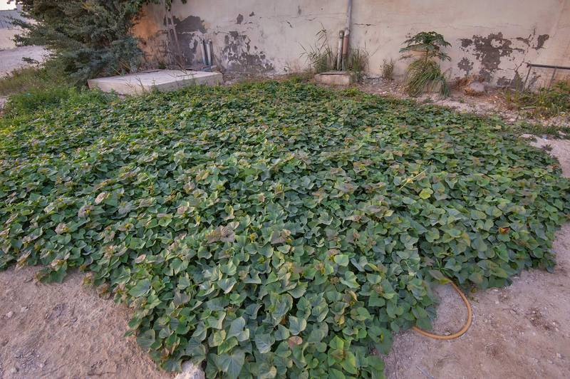 Field of cultivated sweet potato (Ipomoea batatas) in a small kitchen garden on Al Muhandiseen Street in Al Lejbailat area. Doha, Qatar, February 25, 2016