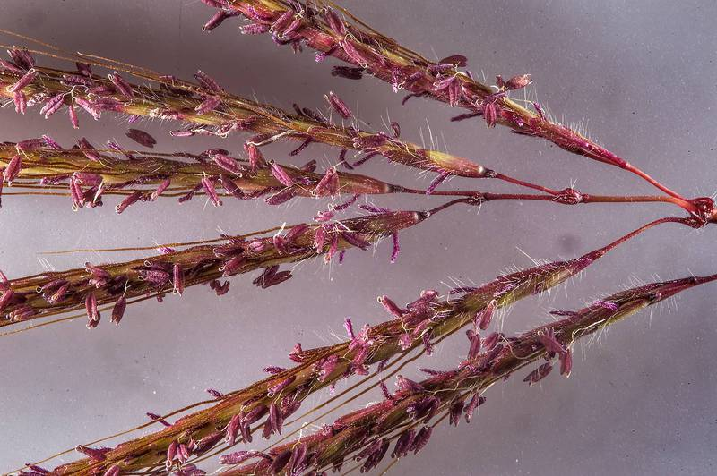 Close up of a spike of Hindi grass (Diaz bluestem, Dichanthium annulatum) on white background taken from Al Mawrid Street in Al Lejbailat area. Doha, Qatar, February 25, 2016