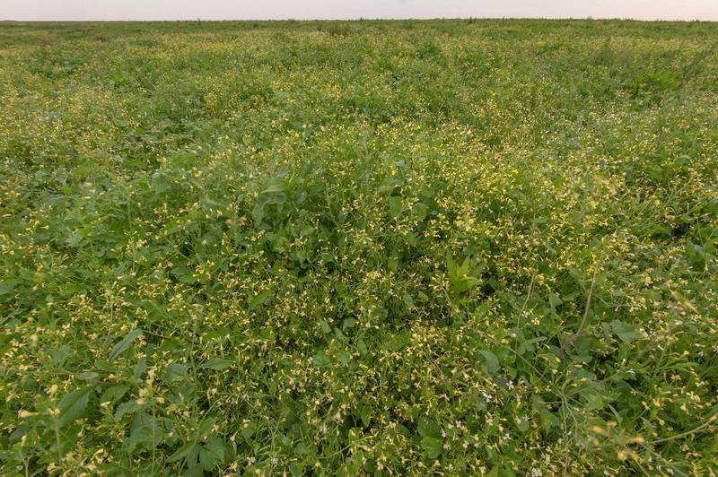 Masses of blooming rapeseed (Brassica napus)(?) on Green Circles (center-pivot irrigation) in Irkhaya (Irkaya) Farms. Qatar, February 26, 2016