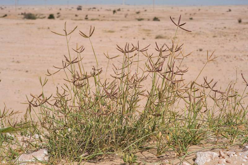 Wire grass Ochthochloa compressa (local name Hamrah) in sand on roadside of Sawda Natheel Road. Southern Qatar, February 26, 2016