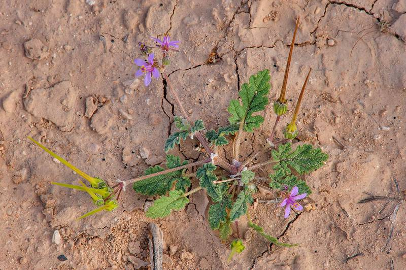 Plant of Cutleaf Heron's bill (Erodium laciniatum, Geranium laciniatum, local names qarnawah, ibrat al rahib) in a silty depression near a road to Zubara, area of Al Magdah farms. Northern Qatar, February 27, 2016