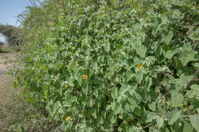 Blooming Texas Indian-mallow (Abutilon fruticosum, Abutilon denticulatum, local name gargadan) in Yoodah depression near Al Zubara Road. Northern Qatar, February 27, 2016