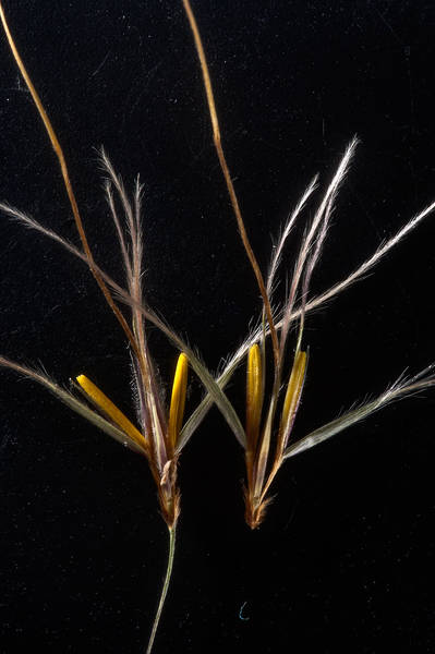 Opened spikelets of grass Chrysopogon plumulosus taken from a depression near Al Zubara Road in northern Qatar, February 27, 2016