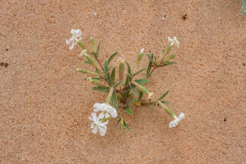 Small blooming plant of desert campion (Silene villosa, local name terba) in windblown sand on roadside of Salwa Road in area of Khashem Al Nekhsh. Southern Qatar, March 4, 2016