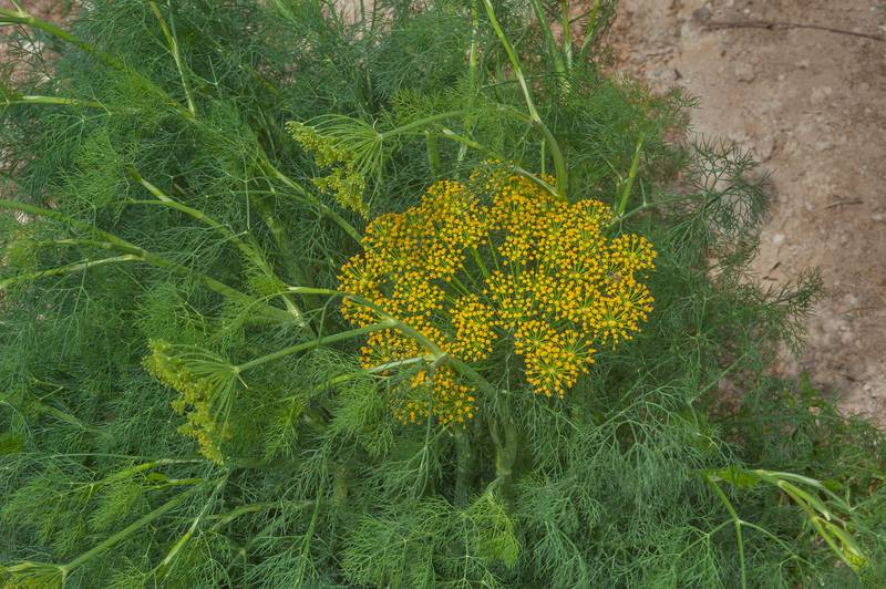 Fennel (Foeniculum vulgare)(?) in a garden in Al Harrarah. Qatar, March 4, 2016